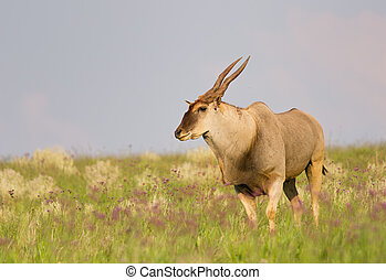 African Eland bull in a field with flowers