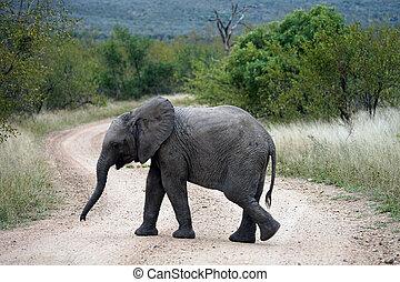 african elefánt, kruger nemzeti dísztér, egyedül, alatt, a, vadon
