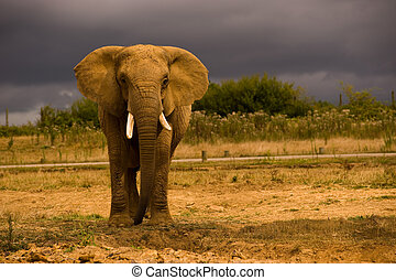 african elefánt