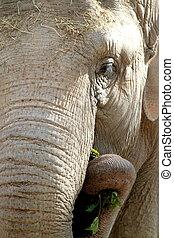 african, elephant., 關閉