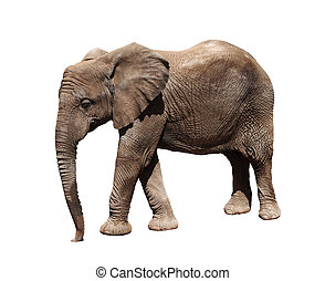 African elephant - A picture of a big african elephnt...