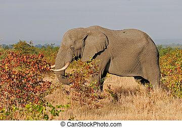 African elephant (Loxodonta africana) feeding on mopane trees, Kruger National Park, South Africa
