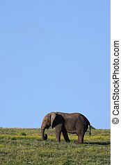 African Elephant and Blue Sky