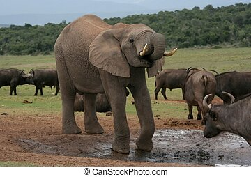 Afican Elephant drinking at a waterhole with buffaloes in the background