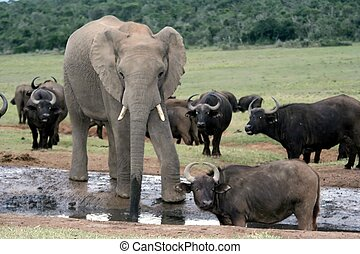 Afican Elephant drinking at a waterhole with buffaloes
