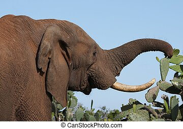 African Elephant and Prickly Meal