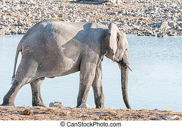 African elephant at a waterhole in Northern Namibia