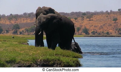African elephant at the river. Elephant baby plays in the...
