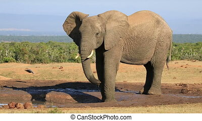 An African bull elephant (Loxodonta africana) at a waterhole, Addo Elephant National Park, South Africa