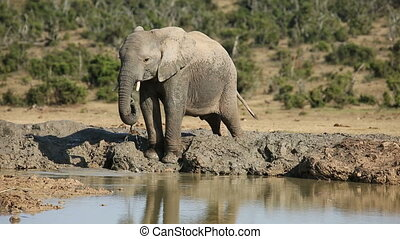 An African elephant (Loxodonta africana) drinking water at a waterhole, Addo Elephant National Park, South Africa