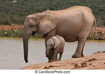 African Elephant Baby and Mother - Young African elephant...
