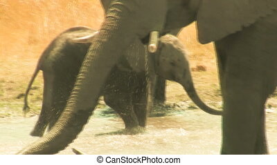 African elephant baby plays in the water