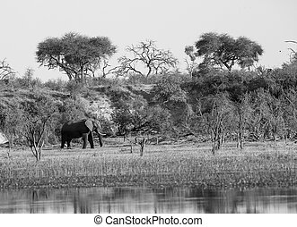 African elephant black white