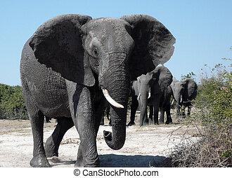African Elephant - Botswana - A group of African Elephants...