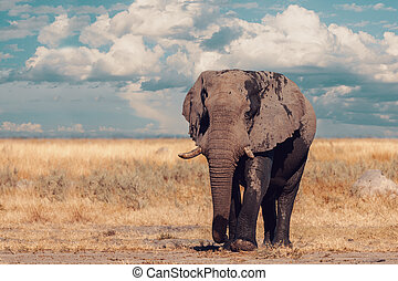 African Elephant, Botswana safari wildlife