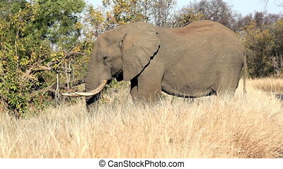 African elephant browsing grassland