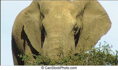 African elephant bull face waving e