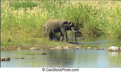 African elephant bull feeding