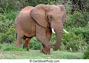 Huge male African elephant in musth eating grass