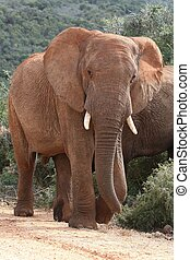African Elephant Bull - Large male African elephnat in the...
