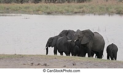 herd of African elephant with babies, Loxodonta going out of waterhole in Bwabwata, Caprivi strip game park, Namibia, Africa safari wildlife and wilderness