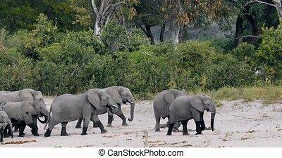 African elephant, Bwabwata Namibia, Africa safari wildlife -...