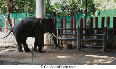 African elephant chained to the pillar. Big smart animal...