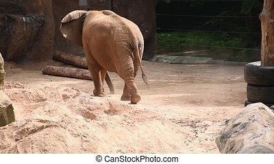 large african elephant chiling at afternoon on reservation territory.