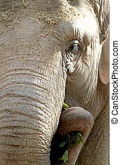 African elephant. Close up