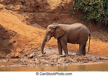 African elephant covered in mud - Kruger National Park