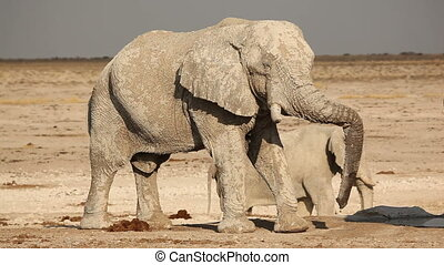 African elephant covered in mud - Large African elephant...