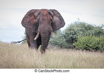 African elephant covered with dried mud