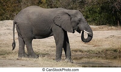 African elephant (Loxodonta africana) drinking water at a waterhole, Sabie-Sand nature reserve, South Africa