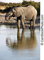 African elephant drinking at a waterhole in Savuti in Botswana