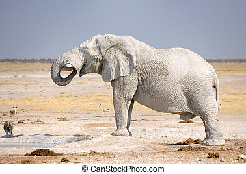 African elephant drinking at waterhole.