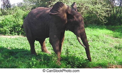 elephant eating grass - African elephant eating grass in...