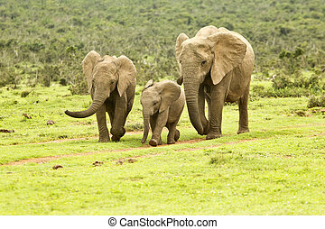 African elephant family on the move