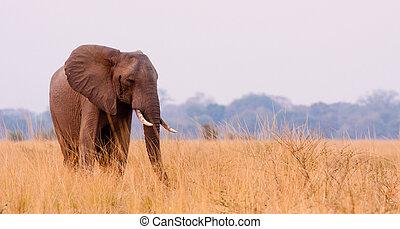 African Elephant feeding in a savannah flood plain