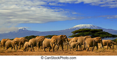 African Elephant Herd And Kilimanjaro Tanzania - A herd of ...