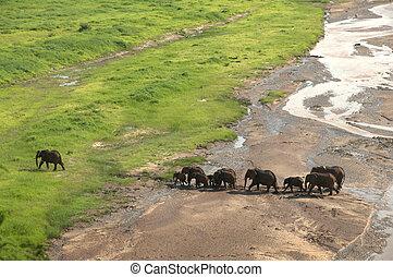 African elephant herd crossing