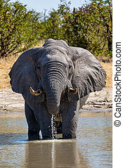 African Elephant in Chobe, Botswana safari wildlife