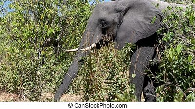 Majestic African Elephant graze on tree in Chobe National Park, Botswana safari wildlife