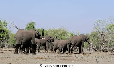 African Elephant in Chobe - Portrait of African Elephant in...