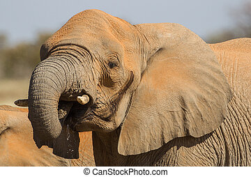 African Elephant in Etosha National Park, Namibia