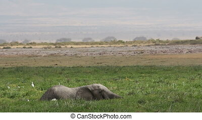 African elephant in marshland