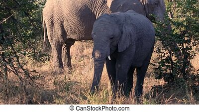 cute baby of African Elephant feeding on grass in natural habitat in Moremi game reserve, Botswana safari wildlife
