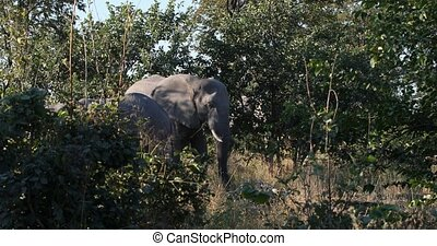 cute baby of African Elephant feeding on grass in natural habitat in Moremi game reserve, Botswana Africa safari wildlife