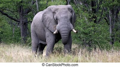 Majestic African Elephant feeding in natural habitat in Moremi game reserve, Botswana safari wildlife