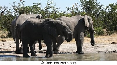 Majestic African Elephant on waterhole, in natural habitat in Moremi game reserve, Botswana safari wildlife