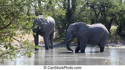 African Elephant in Moremi, Botswana safari wildlife